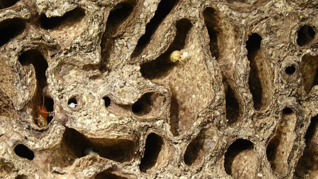 termite in termite mound - colony group of animals stock videos & royalty-free footage