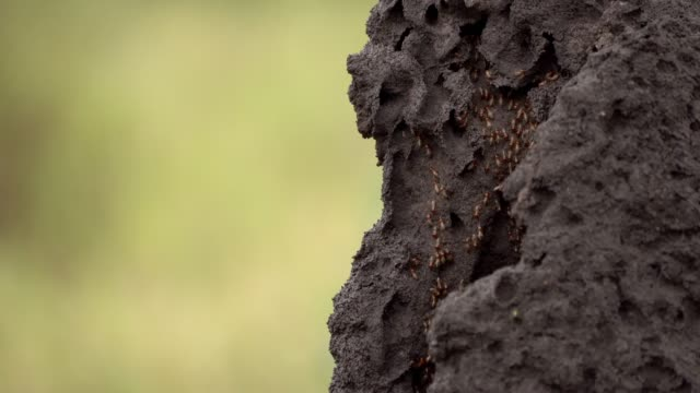 termite in ther mound - insect stock videos & royalty-free footage
