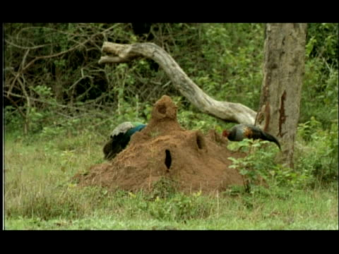 termite mound in woodland clearing; jungle fowl (gallus sp.) and peacock (pavo cristatus) foraging for emerging termites, nagarahole, india - foraging stock videos & royalty-free footage