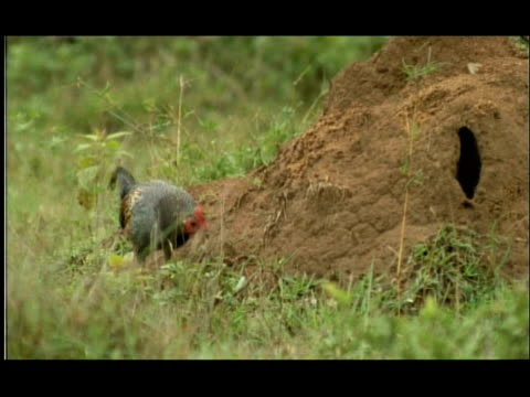 termite mound in woodland clearing; jungle fowl (gallus sp) foraging for emerging termites, nagarahole, india - foraging stock videos & royalty-free footage