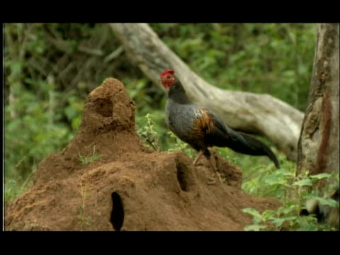 termite mound in woodland clearing; jungle fowl (gallus sp.) foraging for emerging termites, nagarahole, india - foraging stock videos & royalty-free footage
