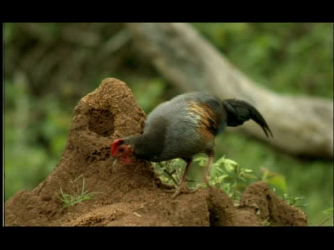 termite mound in woodland clearing; jungle fowl foraging for emerging termites, nagarahole, india - foraging stock videos & royalty-free footage