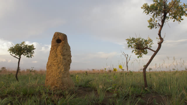 Termite mounds stand amongst trees in grassland.