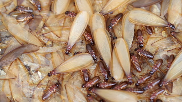 termite. - animal wing stock videos & royalty-free footage