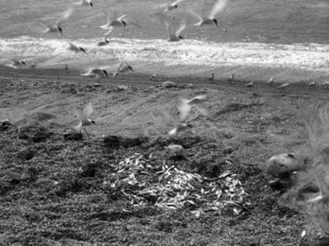 terns feast on the rejected fish from a catch on chesil beach. 1956. - 1956 stock-videos und b-roll-filmmaterial