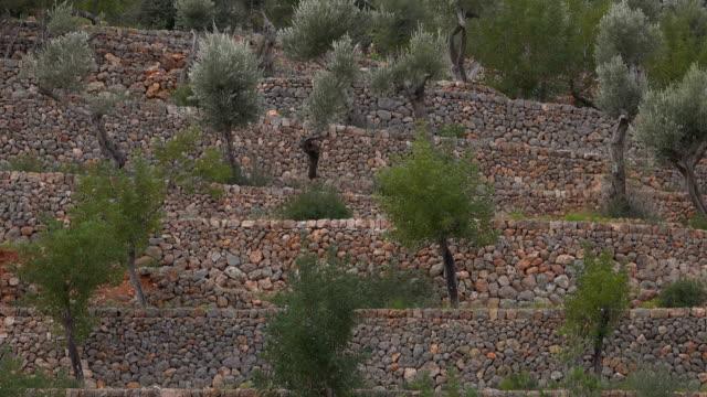 Terrace cultivation of olive trees near Port de Soller, Majorca, Balearic Islands, Spain