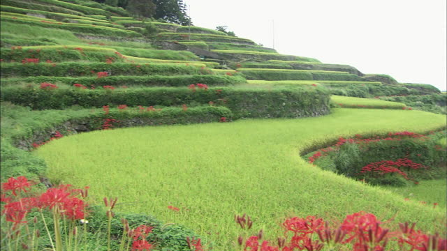 Terrace paddy fields  Pan left   Red spider lilies and terrace paddy fields   Middle long