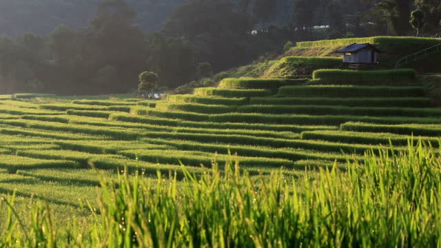 terrace rice fields in chiang mai, thailand - rice terrace stock videos and b-roll footage