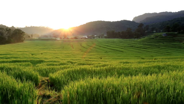 terrace rice fields of agriculture