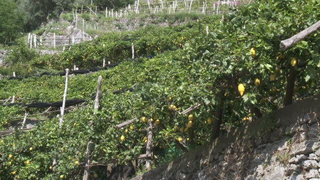 ms terraced lemon grove on side of hill / amalfi, campania, italy - レモン点の映像素材/bロール