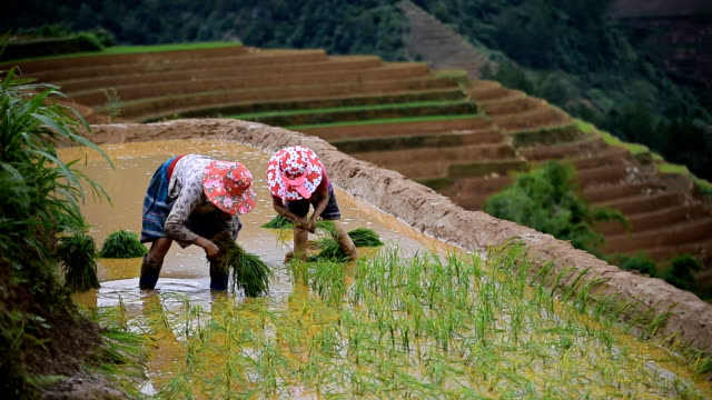 terraced rice field in mu chang chai, vietnam - sa pa stock videos and b-roll footage