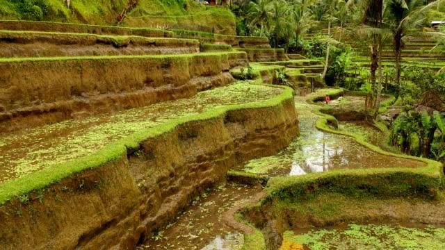 vidéos et rushes de rizières en terrasses, bali, indonésie - rizière