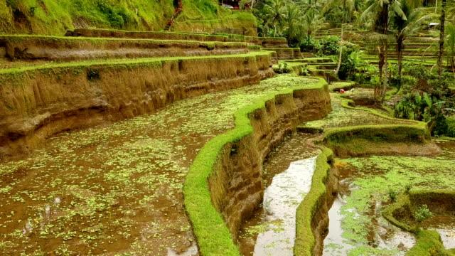 vídeos de stock e filmes b-roll de terraced rice fields, bali, indonesia - árvore tropical