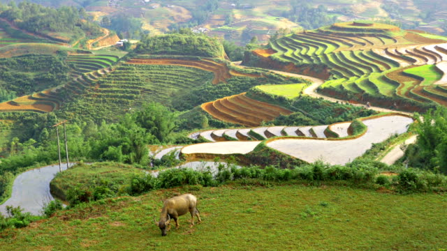 terraced rice paddies in northern vietnam - sa pa stock videos and b-roll footage