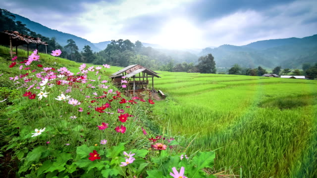 terraced rice paddy field at sunrise - asian tribal culture stock videos and b-roll footage