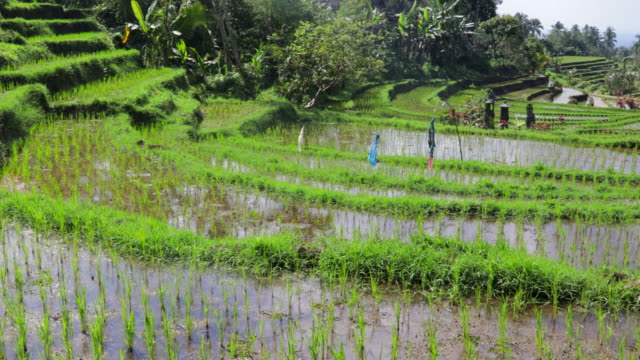terraced rice paddy - paddy field stock videos & royalty-free footage