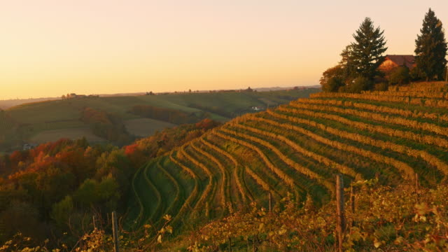 AERIAL Terraced vineyard in the fall