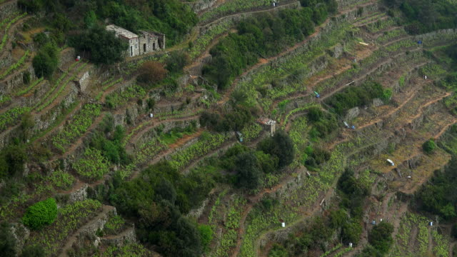 Terraced Vineyards near Manarola, Italian Riviera, Cinque Terre, Liguria, Italy