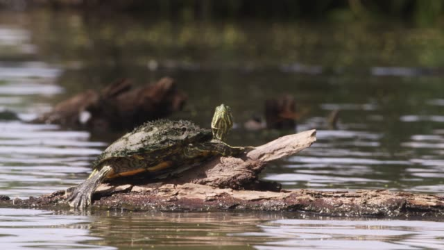 Terrapin basks in swamp, USA