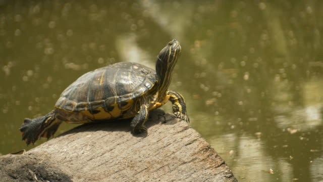 terrapin jumping into water - log stock videos & royalty-free footage