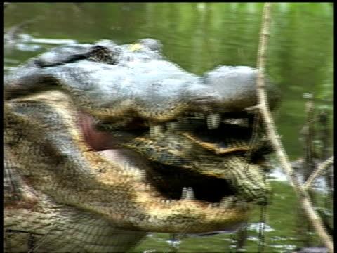 CU Terrapin struggling inside Alligators mouth, Brazos Bend State Park, Texas, USA