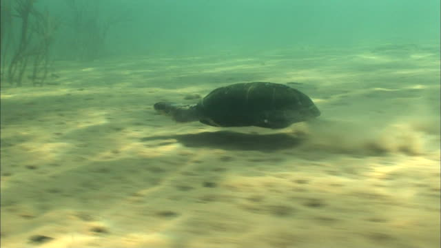 stockvideo's en b-roll-footage met terrapin swimming at the bottom of lake tanganyika, africa - zwemvlies