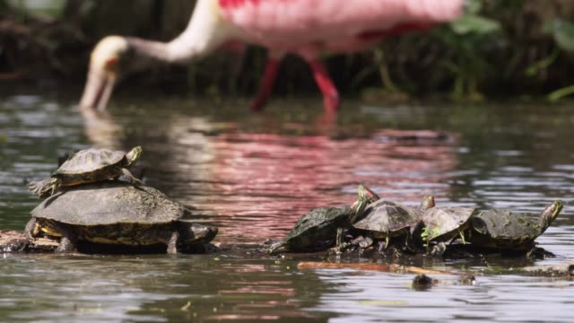 Terrapins and spoonbill in swamp, USA