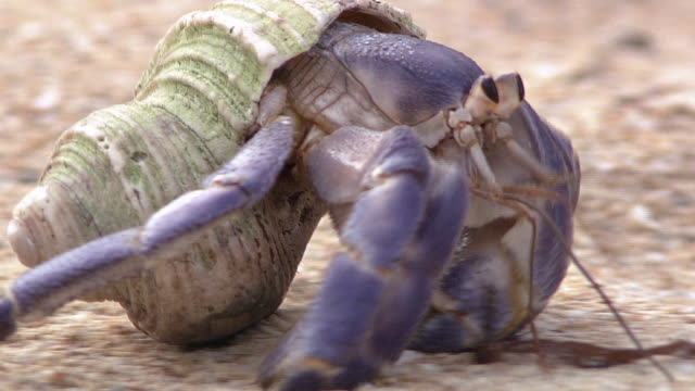 terrestrial hermit crab - wildlife stock videos & royalty-free footage