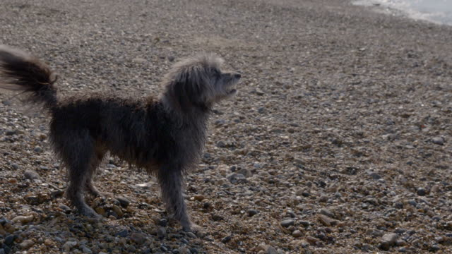 SLO MO Terrier doing turning trick on beach