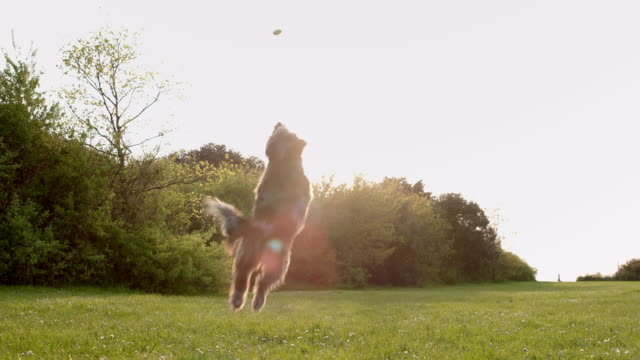 slo mo terrier jumping catching ball in park - terrier stock-videos und b-roll-filmmaterial