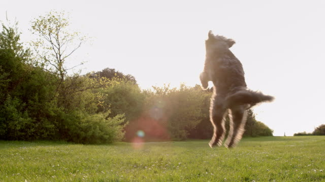 SLO MO Terrier jumping catching ball in park