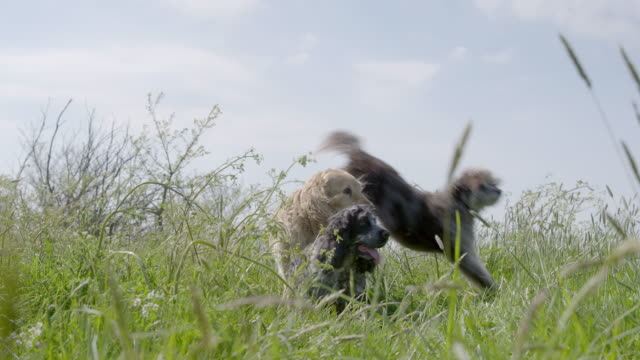 SLO MO Terrier jumping over Golden Retriever and Spaniel in long grass