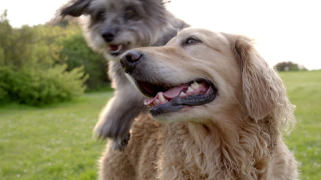 SLO MO Terrier jumping over Golden Retriever in park