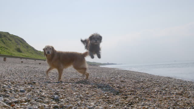 SLO MO Terrier jumping over Golden Retriever on beach
