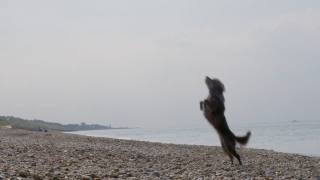 SLO MO Terrier jumping to catch ball on beach