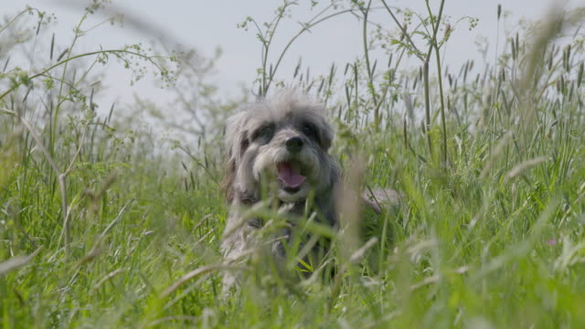 SLO MO Terrier lying in long grass