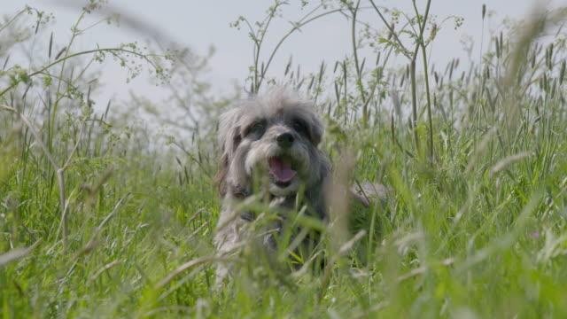 slo mo terrier lying in long grass - terrier stock-videos und b-roll-filmmaterial