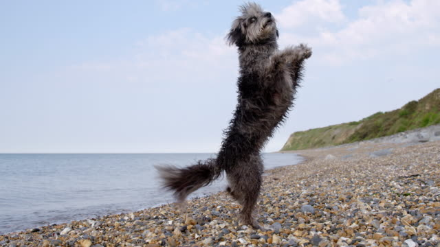 SLO MO Terrier on hind legs doing turning trick on beach