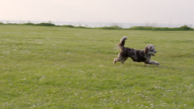 SLO MO Terrier running catching ball in park