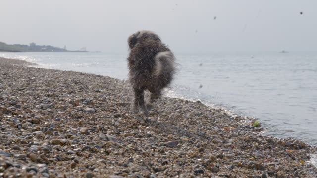 SLO MO Terrier running on beach retrieving ball from Ocean