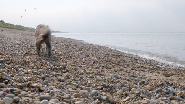SLO MO Terrier running to retrieve ball on beach
