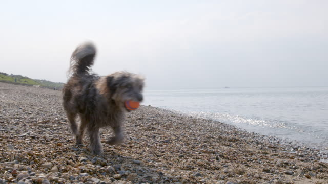 SLO MO Terrier running with ball on beach