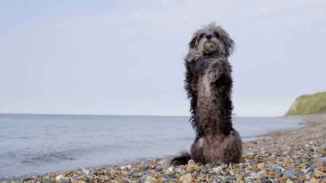 slo mo terrier sitting with paws up on beach - stunt stock videos & royalty-free footage