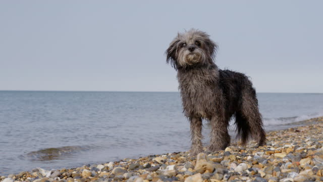 SLO MO Terrier standing by water's edge on beach