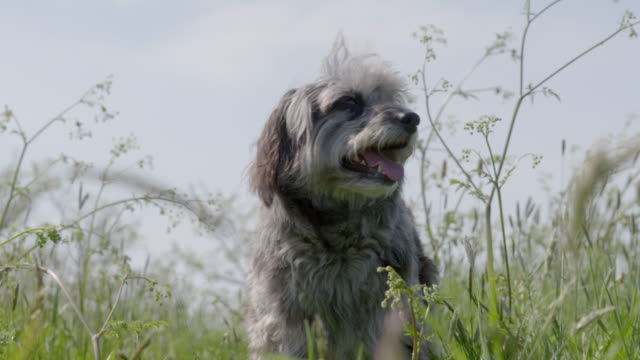 SLO MO Terrier walking in long grass