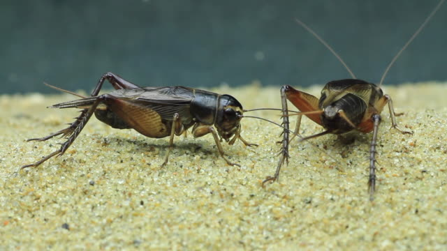 territorial behavior in emma field cricket (teleogryllus emma) - grillo insetto video stock e b–roll