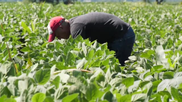 terry davidson is a fifth generation farmer in rural harvard illinois and he now finds himself caught in the middle of the us china tariffs war - soybean stock videos and b-roll footage