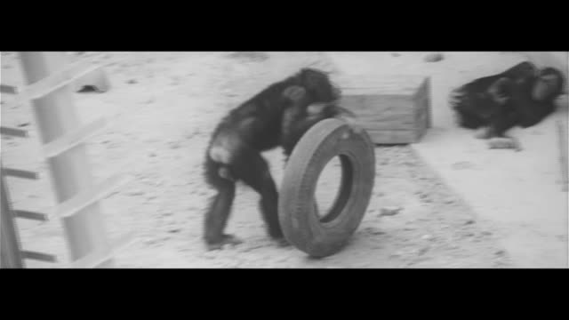 Testing Chimp IQ/Chimpanzee park in the foothills of Mt Nokogiri Chimp throwing a ball with a strange motion How to get the hanging food… A box of...