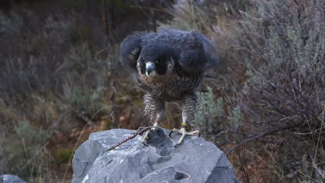 tethered peregrine falcon perched on a rock. - wanderfalke stock-videos und b-roll-filmmaterial