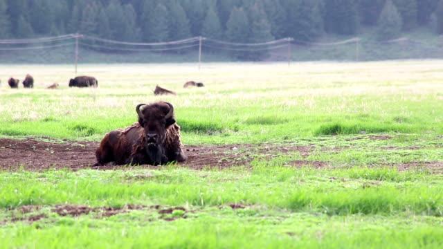 Teton National Park – Bison